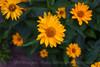 Flowers-8116