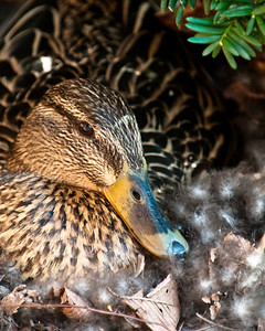 This duck is nesting in the bushes outside our house, and we have counted 12 eggs.