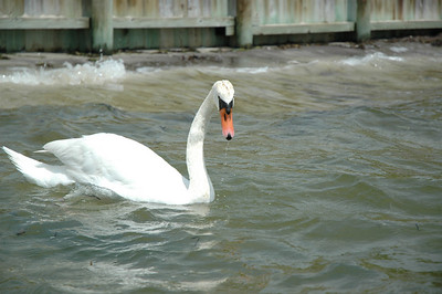I am in the water up to my waist, and way to close to this swan.