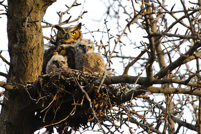 Owls from last year.  Three babies and the mother, in a tree down the block.