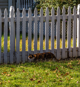 White Picket Cat