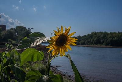 Delaware Sunflower
