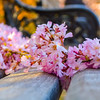 Cherry Blossoms a la bench