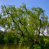 Leaning Willow Tree