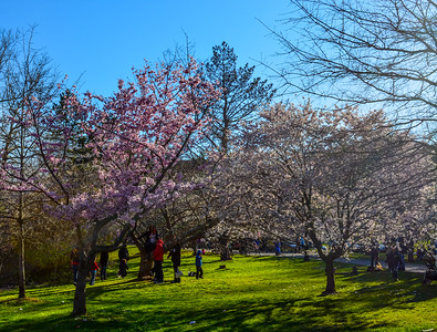 Cherry Blossoms of Branch Brook Park