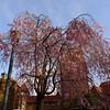 Station Square Cherry Blossoma
