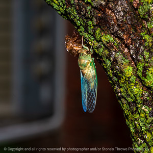 015-insect_cicada-wdsm-31jul21-09x09-006-400-4048