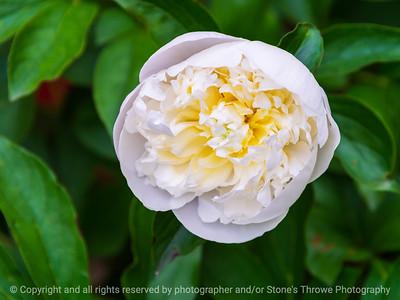 015-flower_peony-ankeny-25may21-12x09-002-400-1663