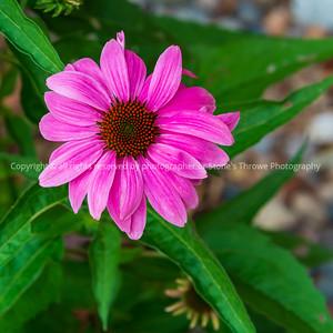 015-flower_coneflower-ankeny-28jun21-09x09-006-400-3272