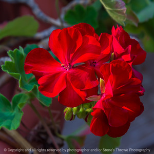 015-flower_geranium-ankeny-04jul21-09x09-006-400-3450
