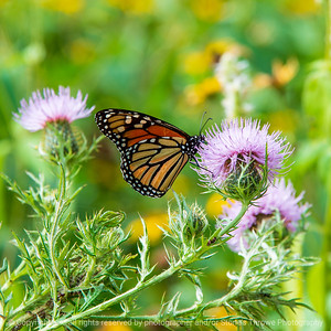 015-butterfly-wdsm-29aug20-09x09-006-400-7673