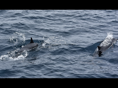 Common Dolphis2393