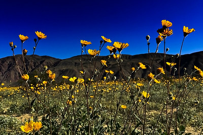 Desert Sunflower Field