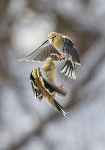 Bird Fights