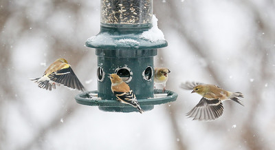 Bird Fights