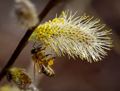 Catkins and Bee