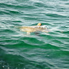 Sea turtle as seen from the boat.