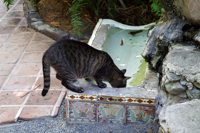 """Cat at the Hemingway House drinking from the """"cat fountain"""""""