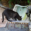 "Cat at the Hemingway House drinking from the ""cat fountain"""