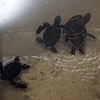 1 week-old turtles at the Cayman Turtle Centre