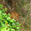 That deer was still hanging around, munching on berries when we went back up the stairs.