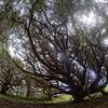 Savary Island trip, May 17-23, 2015.<br /> <br /> Spirit trees.