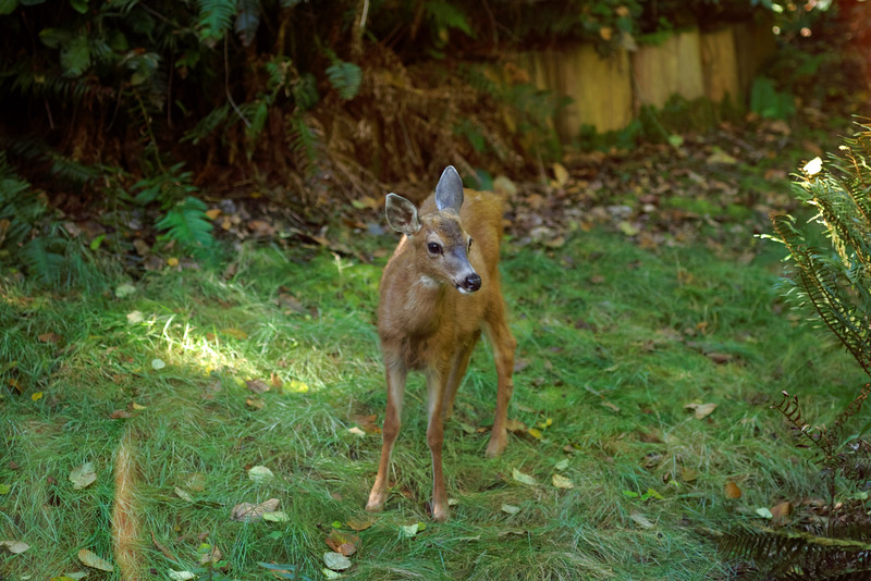 Hey fawn, get off my lawn.<br /> <br /> Savary Island and Sunshine Coast, September 2-5, 2016