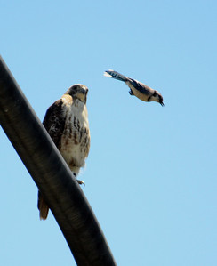 Blue Jay & Red-Tail Hawk