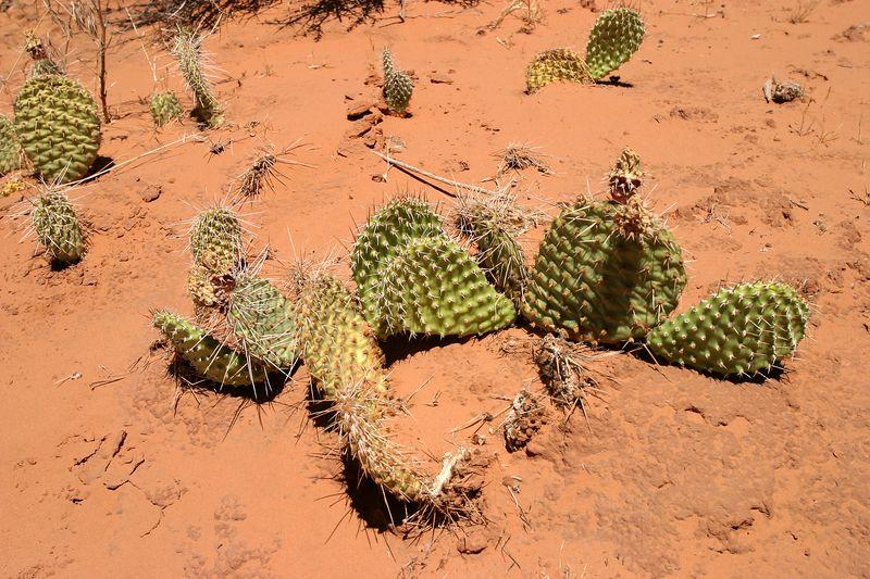 3b WS 52 Prickly Pear 1082