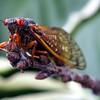 Just had to include this little guy in this gallery.  This was one of the Cicadas from Chicago's big hatch of 2007.