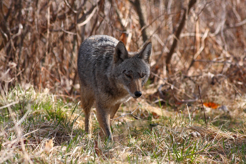 Coyote stalking a ground squirrel...eventually the squirrel won the race!