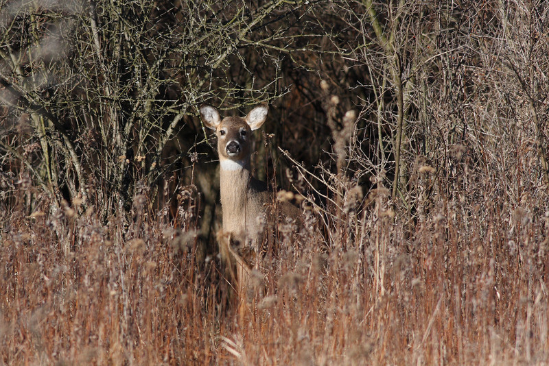 A doe nicely framed by a small clearing in the woods.