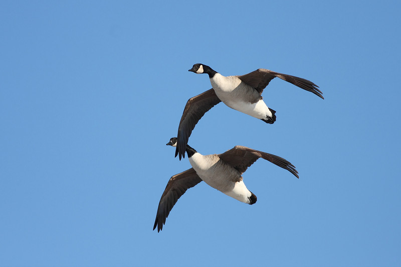 Canadian geese coming in for a landing...