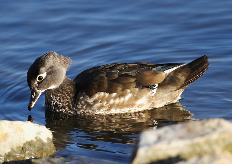 The female partner of the wood duck pictured above...