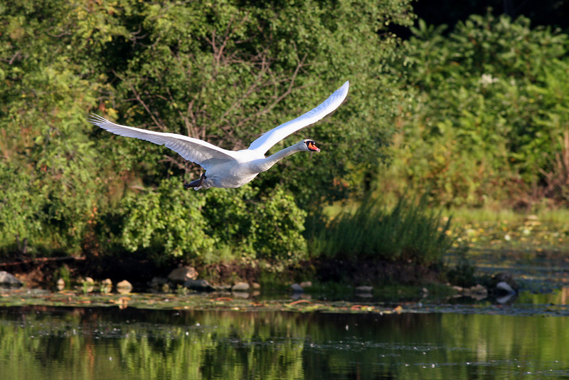 The Lake Katherine Mute Swan, just after takeoff...