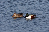 A Northern Shoveler couple, taken at Lake Katherine.