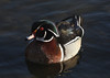 A Male Wood Duck, taken at Lake Katherine