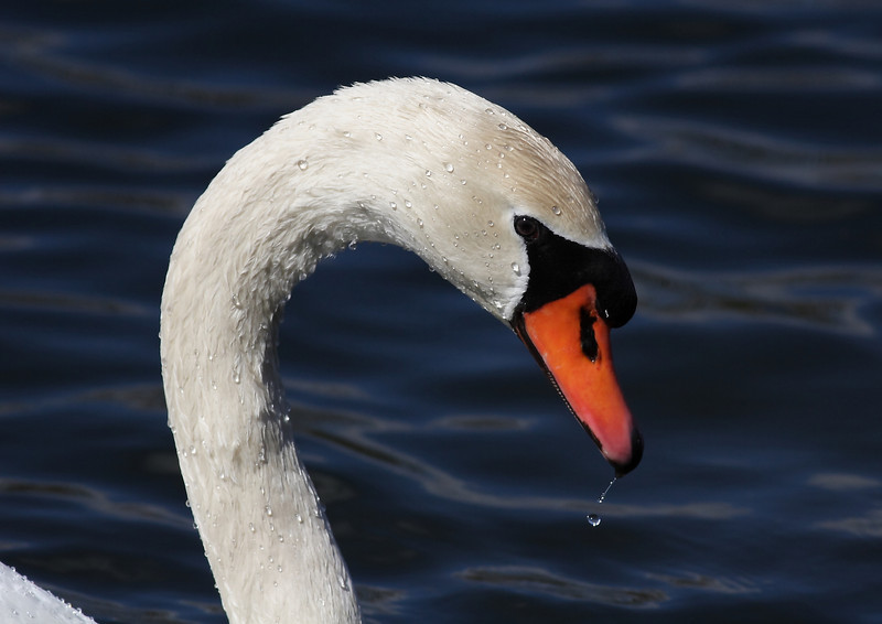 Portrait of the Lake Katherine Mute Swan