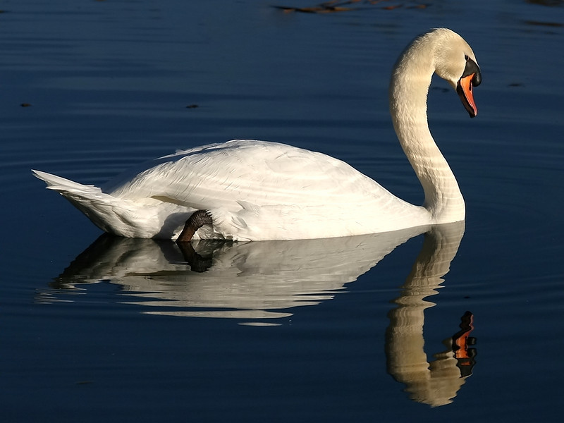 A Mute Swan, admiring the reflection...
