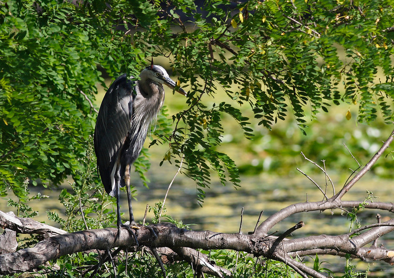 A Great Blue Heron, overlooking Lake Katherine.