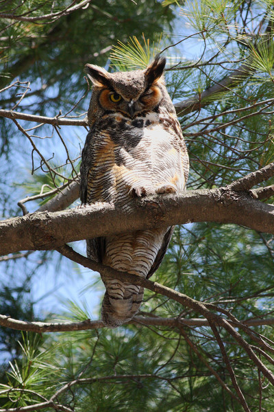Winking Owl.