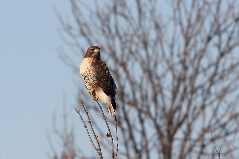 The same Red-tail as the previous frame...isn't it amazing how small a branch can be & still support their weight?