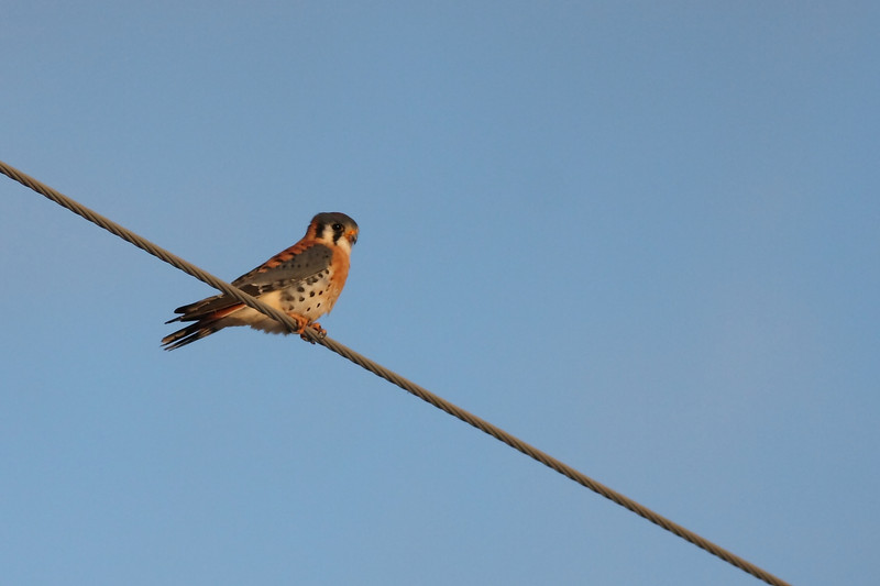 I get to see this little guy on my way to work most days. He's almost always looking down on the edges of a farm field, trying to find the next unlucky mouse.  There isn't a tree for a mile in any direction, so the cable was the best perch I could hope for.  This American Kestrel is for display only, and not for printing.