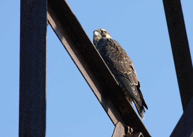 One of a small group of Peregrine Falcons living in the downtown Chicago area.  This shot taken at Montrose Beach on the lakefront.
