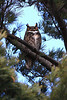 One of the Great Horned Owls.