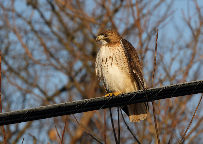 This shot was taken with a fairly short lens.  I found this hawk along a roadway on a quiet Sunday morning.