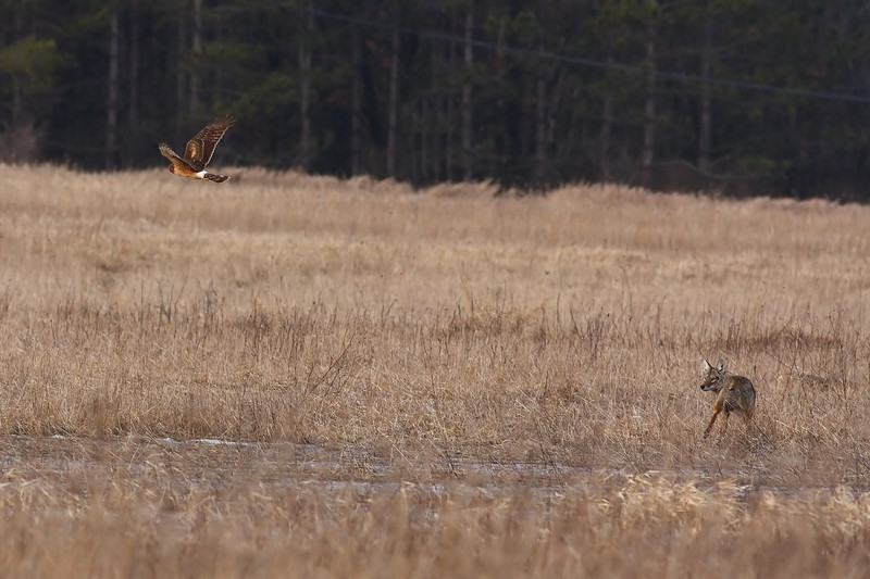 A Northern Harrier harassing a young Coyote at Bartel Grasslands.