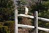 A Red Tail Hawk, stopping on a Mokena fence for a rest.