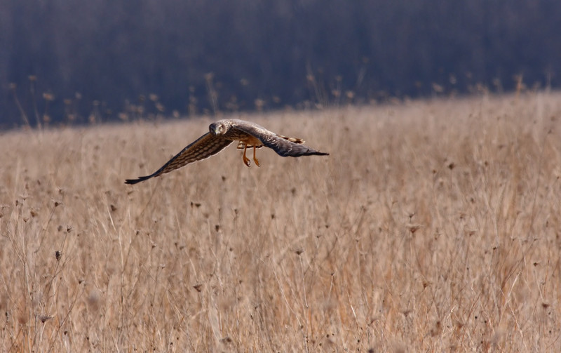 A Northern Harrier over Bartel Grasslands in southern Cook County.