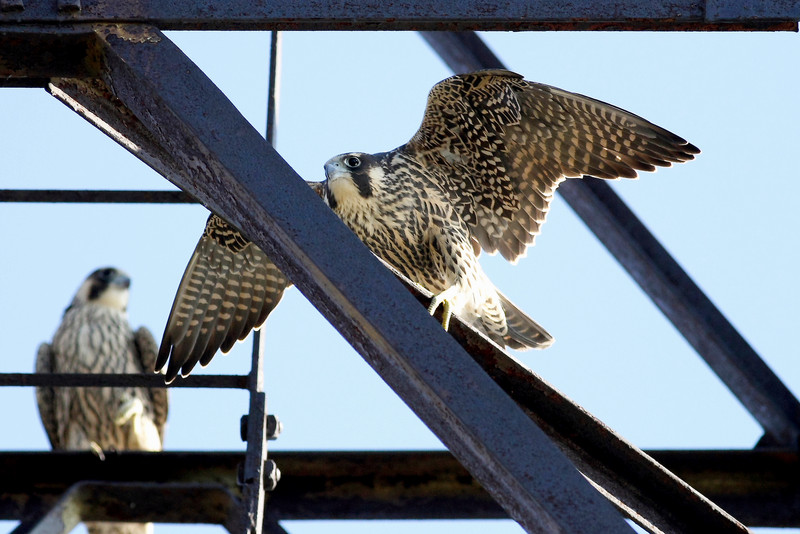 A pair of Peregrines (see background) shot at Montrose in Chicago.